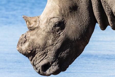 pozo de agua: Rinoceronte sin cuernos abrevadero de verano en la fauna parque reserva