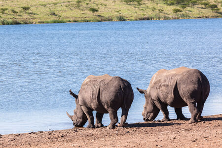 waterhole: Rhinos waterhole summer in wildlife park reserve Stock Photo
