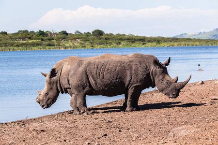 Rhinos waterhole summer in wildlife park reserve Stock Photo