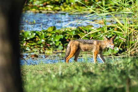 waterhole: La caza de animales chacal Blackback alrededor de camino de tierra pozo de agua en la vida silvestre parque reserva