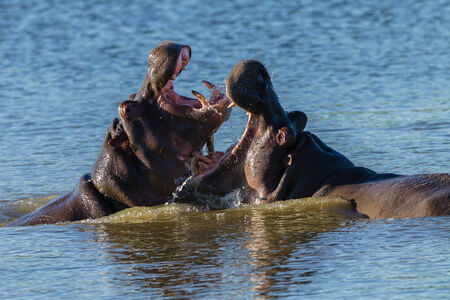 mage: Hippo fight challenge in waterhole wetland in wildlife park reserve