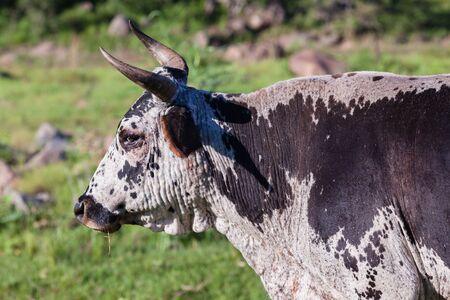 campagne rural: Vaches agricoles animaux dans la vall�e ouverte champs paysage rural