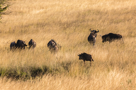 wildebeest: Blue Wildebeest wildlife animal herd in grassland wilderness reserve park. Stock Photo