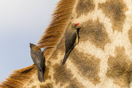 oxpecker: Giraffe wildlife animal closeup with red-billed ox-pecker birds cleaners on neck head detail portrait birds cleaners on neck head detail portrait