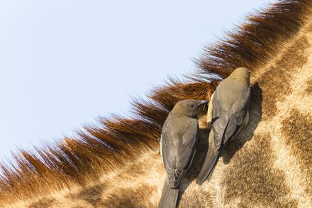 oxpecker: Giraffe closeup relationship with redbilled oxpecker birds cleaners on neck head detail portrait Stock Photo