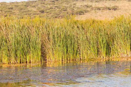 fauna: Fauna de humedales ca�as aguas del lago en la fauna parque reserva
