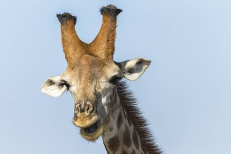 animal head giraffe: Giraffe closeup head detail portrait