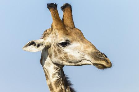 Giraffe wildlife animal closeup head detail portrait photo