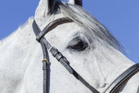 horse show: Horse show jumping head eye closeup  detail. Stock Photo