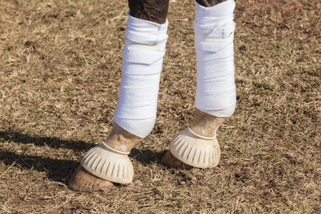 Horse legs shoe bandage shin guard protection in equestrian sports detail closeup of animal