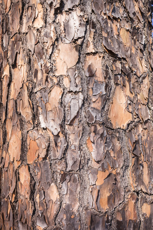 barks: Tree pine bark wood skin textures closeup detail