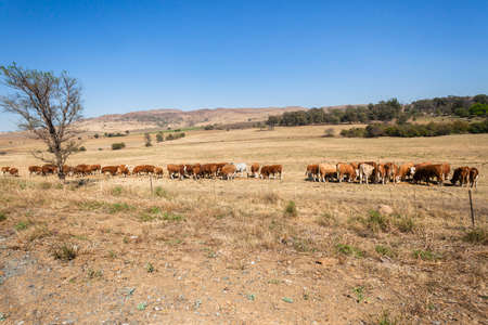 farmlands: Cattle animal herd feeding rural farmlands