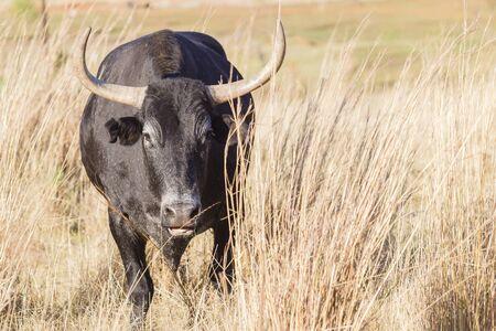 bull head: Cattle bull animal horns head behind grass danger