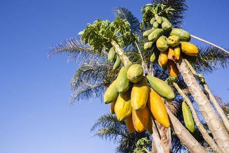 arboles frutales: Papaya árboles de papaya fruta madura lista para la cosecha