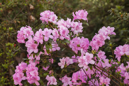 pinks: Spring pink flowers bloom in color