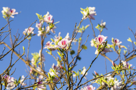 pinks: Spring pink white flowers buds bloom against  blue sky