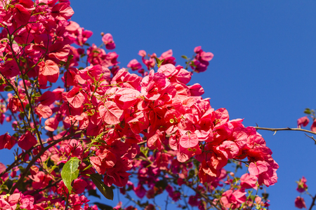 pinks: Spring pink flowers bloom on tree branches against  blue sky