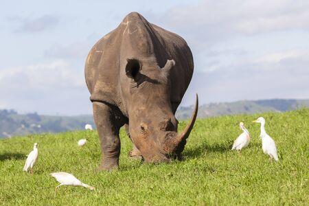 pecker: Rhino wildlife animal pecker birds summer  wilderness landscape.