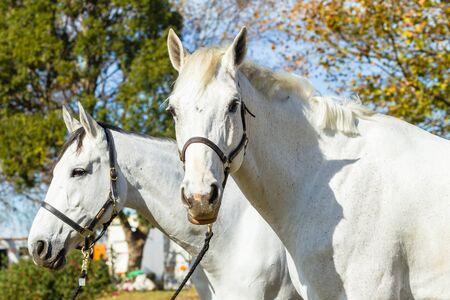 grays: Horses two grays closeup head animal portraits.