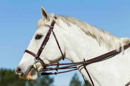 bridle: Horse gray equestrian animal portrait head bridle. Stock Photo