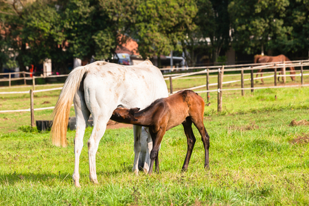 Horse with foal in paddock field on stud farm. Stock Photo
