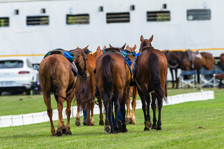 ponies: Polo horse ponies ready for game