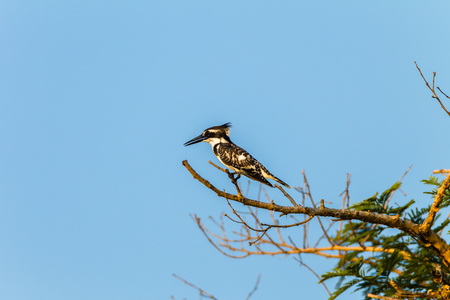 pied: Bird pied kingfisher after perch tree branch above fishing waters.