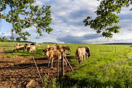 Koeienboerderij koeien in de zomer gras veld Stockfoto