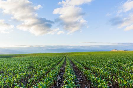 Maïs veld jonge voedsel gewas over landbouw landschap Stockfoto