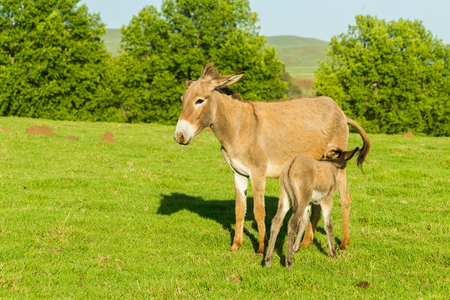 Donkey with newborn foal farmlands summer mountains landscape.
