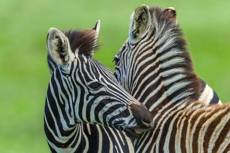 Zebra Calfs  animals necking affections in wildlife safari park