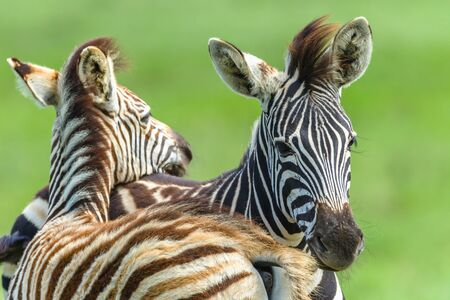 Zebras Calf  animals necking affections in wildlife safari park