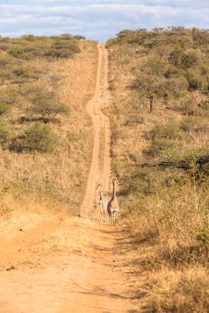 Giraffes alert down in hillside valley dirt road track wildlife animal park reserve.