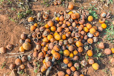 Oranges on ground rotting waste of fruit  passed by during season picking on citrus farm trees.