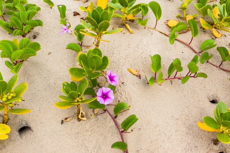 Beach sand dunes with scrub plants flowers scenic nature reserve vegetation landscape.