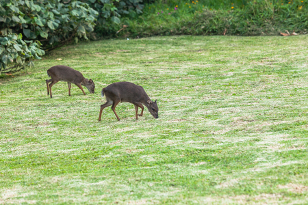 Wildlife two small blue duiker buck animals come out to eat late in the day from coastline trees bush habitat terrain.