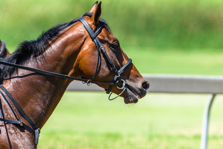 Horse Racing close-up head portrait of animal with bridle on race track action photo. Stock Photo