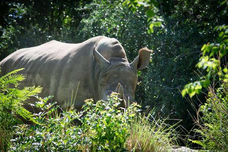 shy rhinoceros
