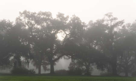 foggy morning view of St. Francisville trees
