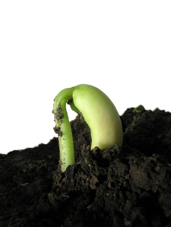 small bean sprout in soil on a white background photo