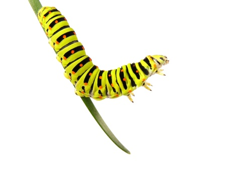 swallowtail: Swallowtail caterpillar on a stalk isolated on a white background. Studio shot. Stock Photo
