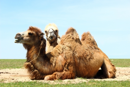 Troop of two domestic camel bactrian take a rest on a meadow