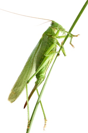 Big green grasshopper on a stalk isolated on a white background  Studio shot  photo