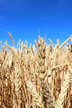 visually: Wheat field before harvesting. Visually reminds national flag of Ukraine. Stock Photo
