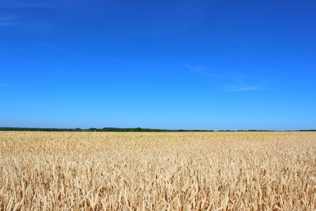 Wheat field against the clear blue sky before harvesting. photo