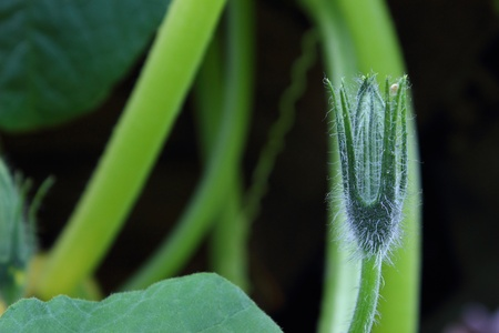 villi: pumpkin plant with a bud on a dark background  Stock Photo