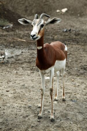 spreaded: Skinny goat. A brown  white goat staring into the camera with spreaded ears. Stock Photo