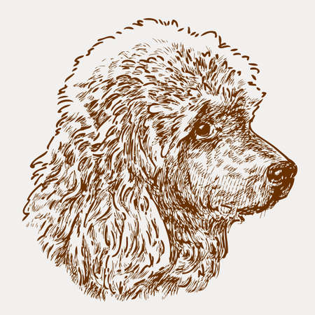 Vector image of the head of a red poodle. Illustration