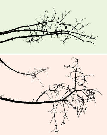 spruse: Pine branches with cones and without needles