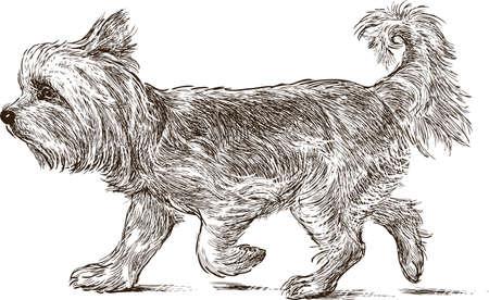 Un yorkshire terrier va en promenade Banque d'images - 83724433